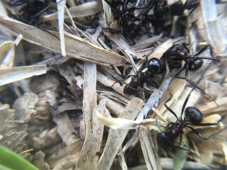 Frontline between two ant armies